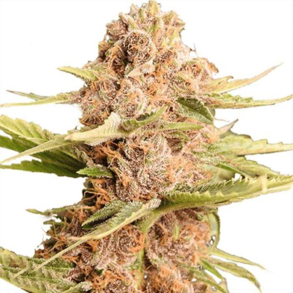 Girl Scout Cookies Feminized