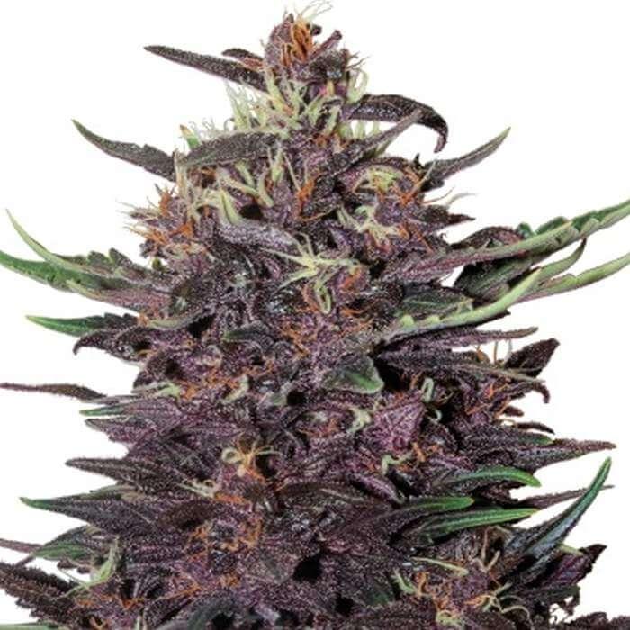 Purple Kush Feminized Seeds